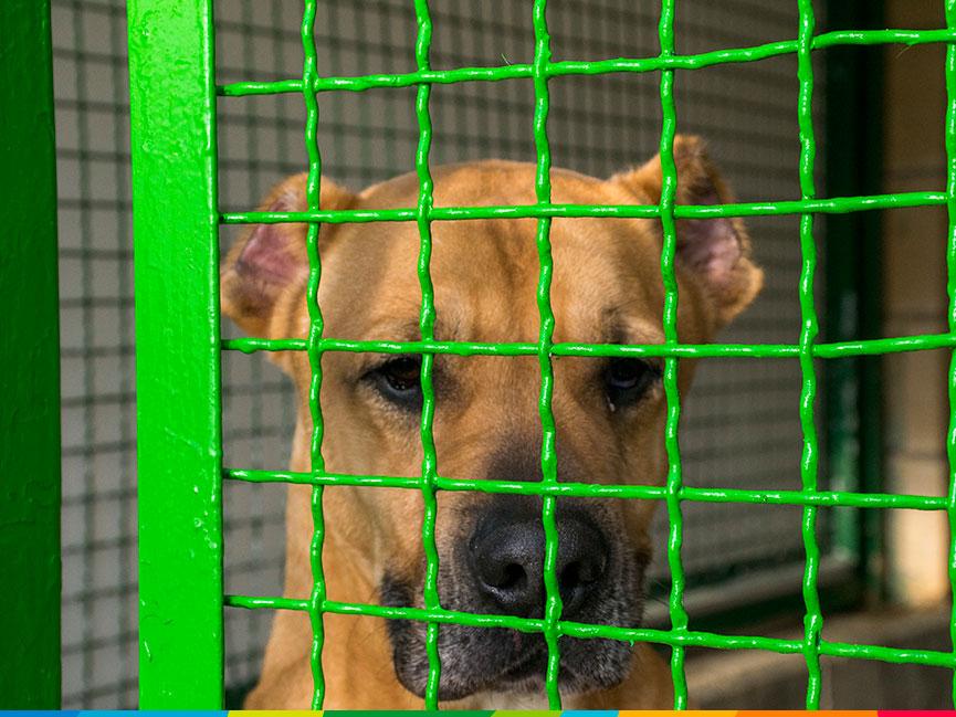 El pitbull es el tipo de perro con mayor tasa de abandono de nuestro entorno. Éste llegó al CPA con las orejas recortadas para tener un aspecto más rudo.